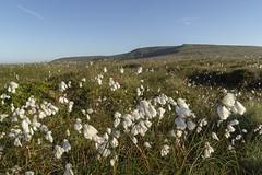 Cotton Grass (l4ts) Tags: landscape derbyshire peakdistrict darkpeak bleaklow pennineway cottongrass moorland grasses highershelfstones