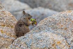 California Ground Squirrel (Allan Hack) Tags: montereyca animals wildlife californiagroundsquirrel loverspoint pacificgrove california unitedstates us