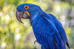 Offical Greeter (helenehoffman) Tags: sammy sampson aves conservationstatusvulnerable macaw bird sandiegozoo brazil anodorhynchushyacinthinus hyacinthmacaw southamerica animal