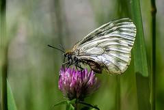 Route du col de La Trappe (Ariège) (PierreG_09) Tags: ariège pyrénées pirineos couserans ustou latrappe séracdustou flore flor fleur plante insecte papillon lépidoptère semiapollon parnassiusmnemosyne occitanie midipyrénées