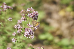 summer butterfly (ivoräber) Tags: voigtländer objektiv nokton 40 mm f12 asph emount voigtlander sony nex