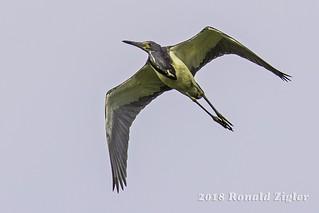 Tricolored Heron in-flight IMG_0294