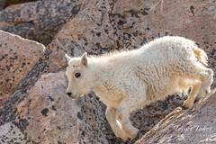 Mountain Goat kid bounds by - Sequence - 16 of 17