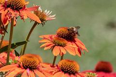 The Bee And The Coneflowers (jwfuqua-photography) Tags: flowersplants insects bee nature jwfuquaphotography jerrywfuqua ourgarden homestead