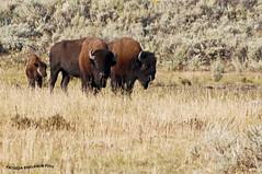 Bisontes 2 - Bison (pniselba) Tags: yellowstone yellowstonenationalpark estadosunidos usa parquenacional nationalpark nature naturaleza eeuu bisonte bison