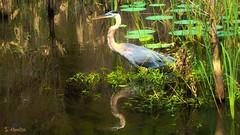 A Morning Stroll (Suzanham) Tags: heron greatblueheron wadingbird aquaticbird wetlands swamp noxubeewildliferefuge mississippi nature wildlife bird