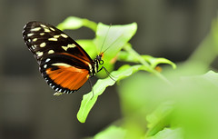 butterfly (CU TEO MD) Tags: butterfly outdoor maryland macro105mm macro macrodreams macrophotography ngc twop artofimages simplysuperb soe nikon naturebynikon leaf bokeh