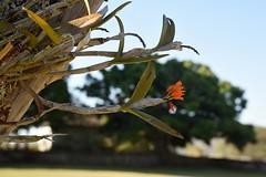 Guarianthe (Cattleya) aurantiaca naturalized in garden - Chiapas, Mexico (Encyclia83) Tags: guarianthe cattleya aurantiaca chiapas mexico orchid