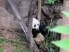 Cutie-Pie Bei Bei (heights.18145) Tags: visitthezoo national zoo washingtondc animals pandas fun cute bamboo beibei tiantian meixiang