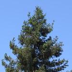 redwood tree 6 15 18 thumbnail