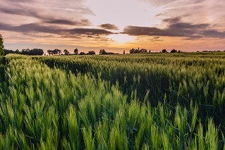 Grain under departing sunlight