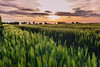 Grain under departing sunlight (Beppe Rijs) Tags: deutschland germany schleswigholstein wolken wolkendecke frühling spring landschaft landscape natur nature field feld gras baum tree horizont horizon grün green clouds farbig colored line linie rural ländlich pastell color farbe sundown cornfield grain sonnenuntergang kornfeld lila purple orange red rot himmel