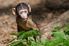 Baby Monkey (ch.gunkel) Tags: affenberg affenbergsalem berberaffe deutschland germany macacasylvanus natur salem tier tierwelt animal baby barbarymacaque monkey nature primate wildlife affe
