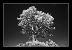 La Palma, Sony A7 IR, Nikkor 18mm/3.5 (Bartonio) Tags: 720nm bw blanconegro canaryislands infrared ir islascanarias lapalma mazo modified monochrome nikkor18mm35 pine pino sonya7ir tree