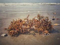 (yosmama151) Tags: iphone iphoneography ocean waves shells landscape texas galvestonisland galveston gulfcoast gulfofmexico sea seashore coast coastline shoreline shore sand beach kelp seaweed