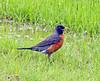 American robin (carpingdiem) Tags: robin indianapolis birds summer 2018