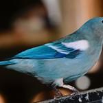 Blue-gray Tanager #2 thumbnail