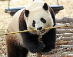 Giant panda Paira Daiza JN6A0358 (j.a.kok) Tags: panda giantpanda bamboebeer bamboobear bear beer china asia azie animal mammal zoogdier dier pairidaiza