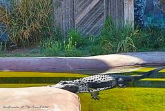 I Don't Think So!!! (Shadow _ Traveler) Tags: alligator animalportrait albuquerquenewmexico animalbehavior animalphotography animals wildlife wildlifephotography photography photographynature naturephotography hdrphotography hdrlovers hdr