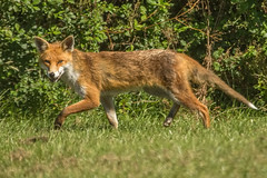 FOX (_jypictures) Tags: animalphotography animals animal animalplanet canon canon7d canonphotography wildlife wildlifephotography wiltshire naturephotography nature photography pictures fox ukwildlife