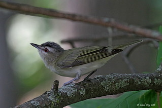 1.17683 Viréo aux yeux rouges / Vireo olivaceus olivaceus / Red-eyed Vireo