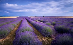 Rows Of Smell (R36a) (Darblanc ( http://darblanc.com )) Tags: canoneos7d countryside hills mountains nature darblanc darblancphotography photography xavdarblanc xavdarblancphotography photo coloursshapesandmoods spring colour series daytime night sunrise artphoto longexposure clear clouds landscape lavender flowers france frenchalps provence alpesdehauteprovence valensole plateaudevalensole
