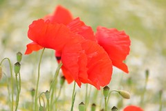 In the middle of a dream (Xtraphoto) Tags: bokeh poppies poppy flower blumen blume mohnblume mohn