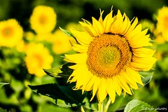 Montesquieu-4_GF (zango-photos) Tags: lotetgaronne randonnée montesquieu ballade paysage campagne 47 été nature fleurs tournesol