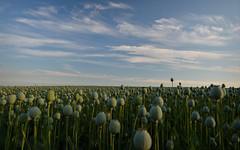 Seeds of Change.. (Harleynik Rides Again.) Tags: poppyfield wiltshire salisbury salisburyplain summer sky harleynikridesagain