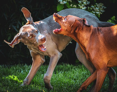 Face Off! (Neil_Wagner) Tags: dogs playing vizsla weimaraner expression action animals