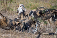 African Wild Dogs (Lycaon pictus) - DSC_5465 (nickybay) Tags: africa mozambique gorongosa sofala macro bugshot canidae lycaon pictus