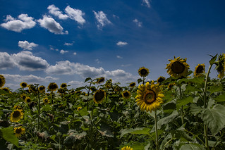 Sunflower field DSC_8962
