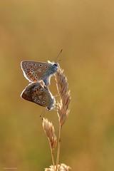 Rendez-vous (Manon van der Burg) Tags: natuur sigma105mm canon80d macrolover macrofotografie vlinderen icarus happydays magical butterfly commonblues rendezvous goldenhour inthefield voortplanting together