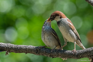 Male sparrow feeding his baby.