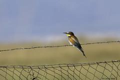 European Bee-eater (Corine Bliek) Tags: meropsapiaster bird birds vogel vogels nature natuur wildlife colourfull kleurrijk colors exotic exotisch
