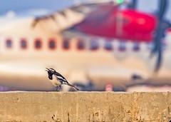 Oriental magpie-robin (Aiel) Tags: orientalmagpierobin robin magpie magpierobin bangalore bengaluru devanahalli copsychussaularis