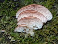 Pink oyster fungus, Mt Sabine (Boobook48) Tags: pleurotusostreatus mtsabine victoria fungi fungus otways scytinotuslonginquus
