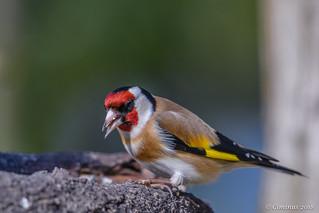 Carduelis carduelis (Cardellino, Goldfinch)