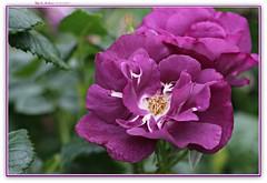 violet hilarity! (MEA Images) Tags: roses rosegarden gardens blooms flora nature parks pointdefiancepark tacoma washington canon picmonkey