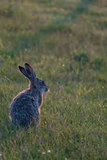 Cute island bunny / Langeoog
