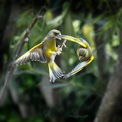 Verdier d'Europe (caffin.jacques3) Tags: oiseaux birds en vol flight verdier deurope greenfinch europe