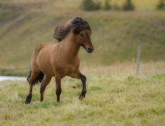 Fabio (^Diana^) Tags: 6348d fabio model horse iceland icelandichorse wild nature running travel