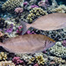 Rivulated Rabbitfish - Siganus rivulatus