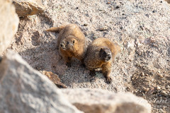 Yellow-bellied Marmots playing coy