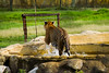 Trigre refrescandose (carlosbenju) Tags: naturaleza nature finca farm montañas hierba tigre tiger water agua wildlife wild