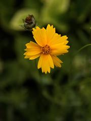 Petit soleil (CaroDiario) Tags: fleurs flowers streetphotography photographiederue printemps spring naturedanslaville urbanwildlife shallowdepthoffield courteprofondeurdechamp panasonicdcgx9 lumièrenaturelle naturallight