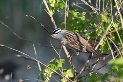 2017 White-crowned Sparrow 6 (DrLensCap) Tags: whitecrowned sparrow ledge road horicon marsh national wildlife refuge waupun wisconsin wi bird robert kramer