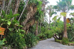 walking between palms :) (green_lover (your COMMENTS are welcome :))) Tags: path palms trees junglepark tenerife canaryislands spain green plants vanishingpoint travels