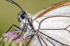 Baum-Weißling (stef7612) Tags: insekten makro pflanzen wald schmetterling falter weisling baumweisling butterfly
