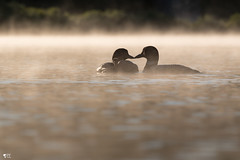 ''L'amour!'' Plongeon huard-Common loon (pascaleforest) Tags: brume mist nikon nature passion matin moorning wild wildlife faune québec canada eau water lac kayak famille amour love